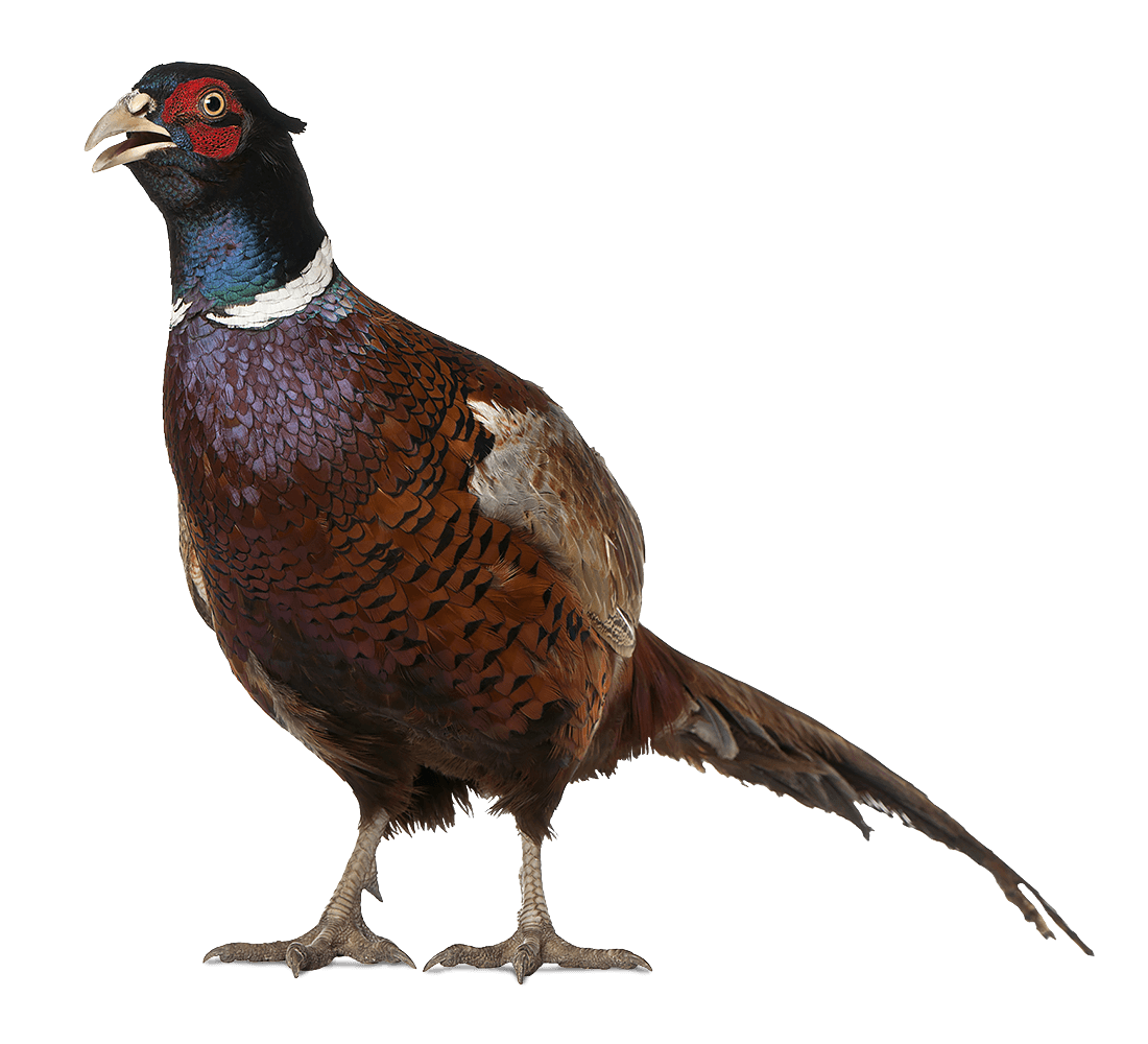 An colour image of pheasant at Edradynate Luxury country house in Perthshire Scotland, available for rent, shoot days, fishing and family holidays on a catered or self catered basis.