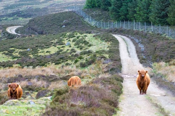 An image of three Highland Cattle roaming Edradynate Estate Perthshire - Luxury Country House and Sporting Estate for Rent in Scotland