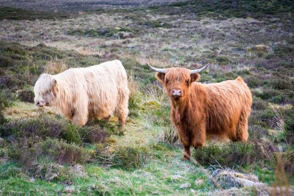 An image of two Highland Cattle roaming Edradynate Estate Perthshire - Luxury Country House and Sporting Estate for Rent in Scotland