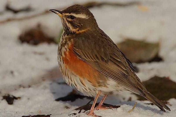 A colour image of a Redwing which appear regularly for their 'winter rations' due to the continuing conservation efforts of gamekeepers and farmers at Edradynate Estate