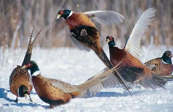 A colour image of 5 pheasants in the snow at Edradynate Estate - mind the hungry gap new article for supplementary feeding of game birds and wild birds